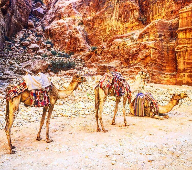 Camels in Petra الجمال في بترا